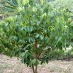 دارچین رمز جوانی!گیاهان دارویی