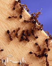 مبارزه با مورچه های خانگی/نکات خانه داری