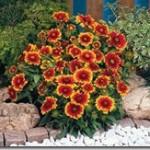 روش کاشت گل رعنا زیبا/پرورش گیاه