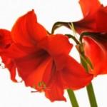 شرایط نگهداری گل   آماریلیس/ پرورش گیاه