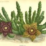 آموزش کاشت کاکتوس قورباغهای/پرورش گیاه