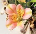 آموزش ساخت  گل السترومریا با خمیر ایتالیا/آموزش گل سازی