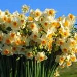 آموزش گل نرگس باخمیر انعطافپذیر/آموزش گل آرایی