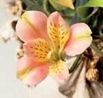 تهیه گل السترومریا با خمیر ایتالیا/آموزش گل سازی