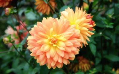 آموزش مفید پرورش دادن گل کوکب/پرورش گیاه