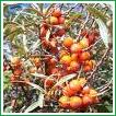 خواص درمانی ابوقانس/گیاهان دارویی