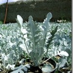 آموزش کاشت  ابری نقره ای /پرور ش گیاه