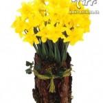 روش پرورش گل بهاری .نرگس/پرورش گیاه