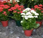 روش مراقبت و پرورش گل کالانکوئه  /پرورش گیاه